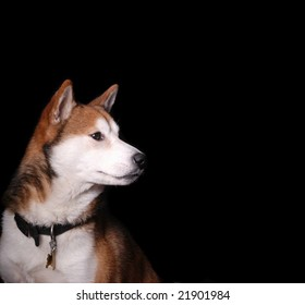 pensive shot of a japanese shiba inu dog, facing right, on black background