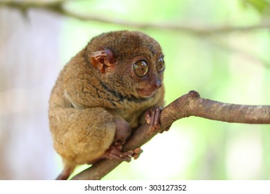 Pensive small tarsier sitting on a branch, Bohol Island