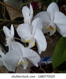 Pensive study of white Phalaenopsis orchids