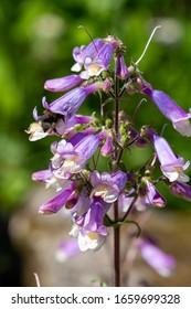 Penstemon hirsutus var Pygmaeus seedling. A bee collects nectar on flowers of penstemon hirsutus.  Flowers-honey plants in the garden.