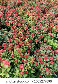 pentas lanceolata or star flowers
