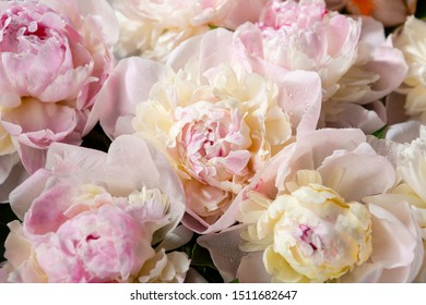 Peonies background close-up, holiday background