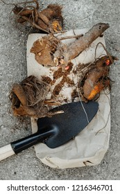 peonies bare roots - division, replanting and gardening autumn