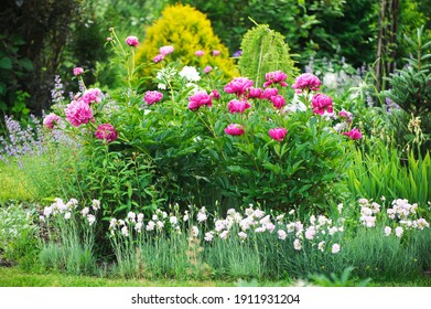 Bauern blühen zusammen mit Dianthus plumarius im privaten Sommergarten. Gartenbau im Landhausstil und Begrünung.