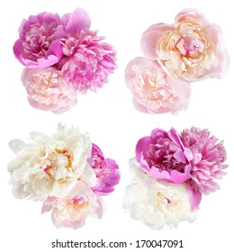 Peonies flower isolated on white background