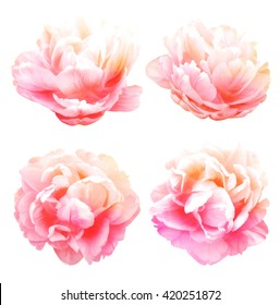 Peonies flower isolated on white background.