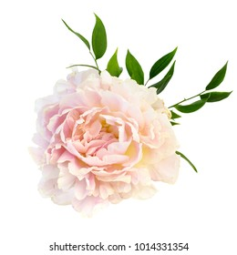 peonies isolated on white