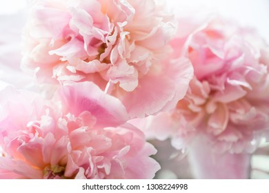Peonies on a white isolated background