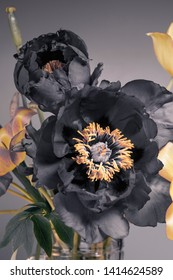 peonies and tulips on a gray background, black and yellow buds, a bouquet.