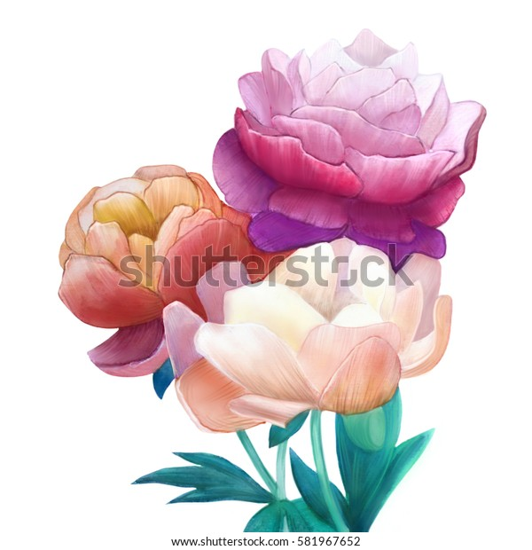 Peonies watercolor. White background.