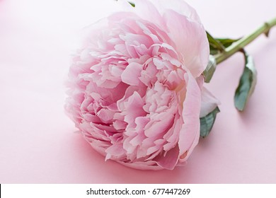 Peony blossom on the pink background. Close up