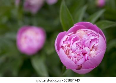Flowers starting to grow images stock photos vectors shutterstock peony bud starts to flourish mightylinksfo