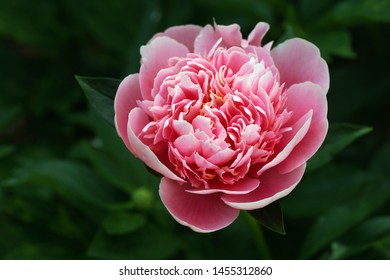 Peony Etched Salmon.  Double pink peony flower. Paeonia lactiflora (Chinese peony or common garden peony)