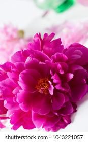 Peony flower close up on white background