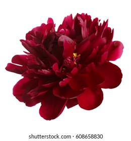 Peony flower of dark burgundy color isolated on white background.