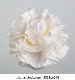 Peony flower gentle shades isolated on a gray background.