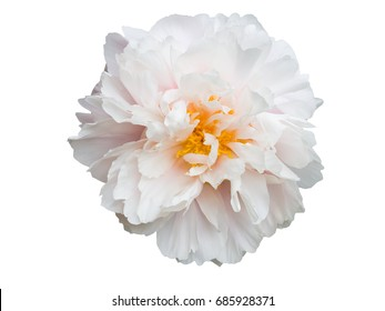 peony flower isolated on white background