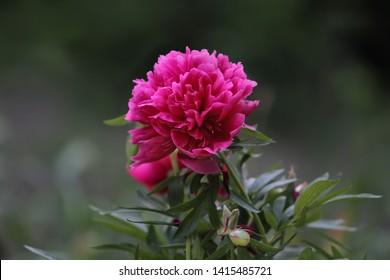 Peony flower on a dark green blurred background.