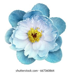 Peony flower turquoise on a white isolated background with clipping path. Nature. Closeup no shadows. Garden flower.