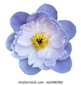 Peony flower white-blue on a white isolated background with clipping path. Nature. Closeup no shadows. Garden flower.