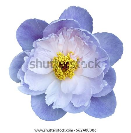 Peony Flower Whiteblue On White Isolated Stockfoto Jetzt Bearbeiten