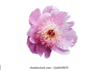 A peony flower with white-pink petals and a bright core. Isolation over white background.