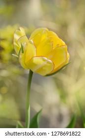 Peony flowered yellow tulip. Tulip Double Beauty of Apeldoorn.  Bright  tones of yellow and golden orange tulip