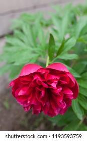 Peony flowering in garden