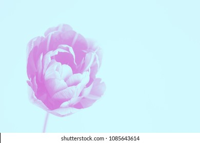 Peony flowering tulip in trendy vibrant duotones colors. Minimal styled concept background.
