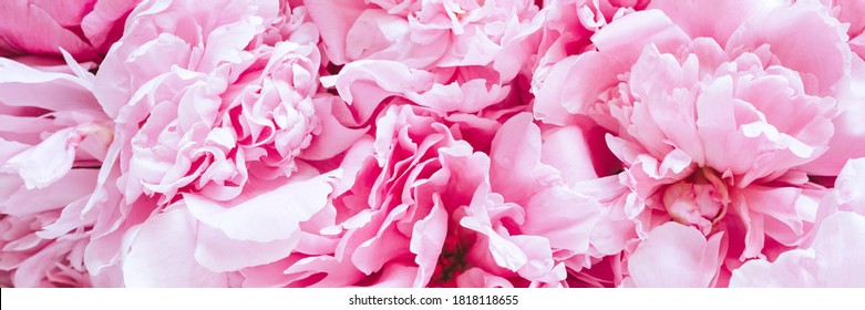 peony flowers in full bloom pastel and vibrant pink color as background and live wall. banner