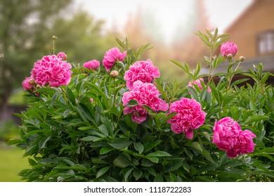 Peony flowers in the garden