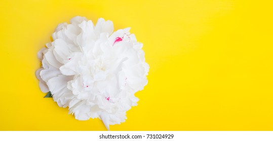 Peony flowers isolated on yellow background
