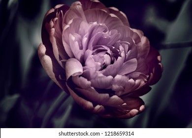 peony in the garden, one bud, dark background, abstract colors.