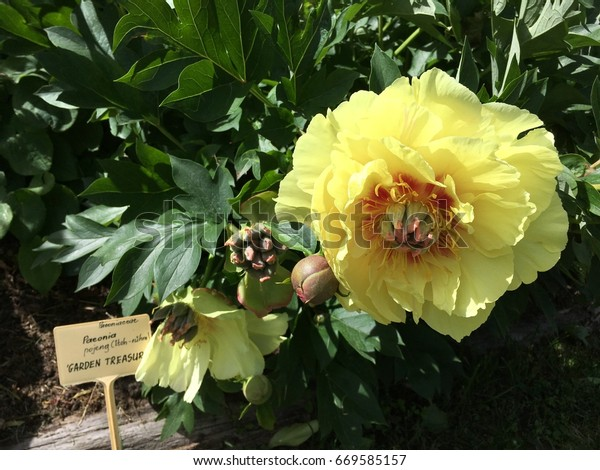 Peony Garden Treasure Stock Photo Edit Now 669585157