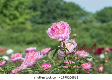 """Peony grassy """"Pearl placer"""". Japanese form. At first, the shade of the flower is pale pink or creamy pink with silvery edges, and as the peony develops, it gradually brightens."""