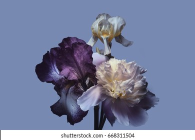 Peony and iris on a blue background, bouquet.
