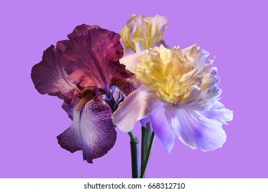 Peony and iris on a violet background, flower arrangement.