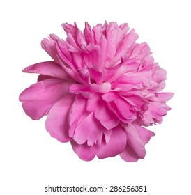 peony isolated on a white background