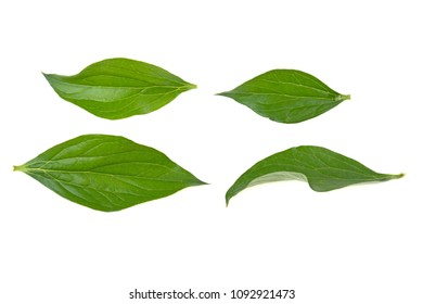 peony leaves on white background