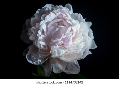 peony on black background