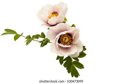 peony on a white background