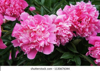 Peony or paeonia lactiflora pink many flowers with green