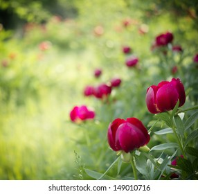 Peony (Paeoniaceae) field in meadow during sunrise
