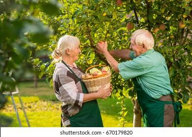 People with basket picking apples. Elderly gardeners couple. Gardening tips for beginners.