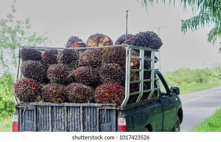 People are carrying palm oil on pickup truck to make palm oil