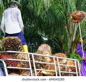 People are carrying palm oil on pickup truck.