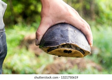 People catch turtles for food. Human pet turtle