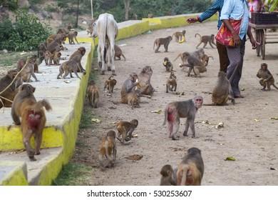 people feed monkey family funny in nature bananas India, Govardhan.Pilgrims in Govardhana feed monkeys