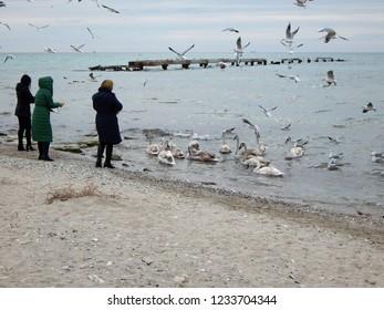 People feed swans. Coast of the Caspian Sea. Kazakhstan.
