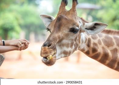 People Feeding Giraffe at Zoo